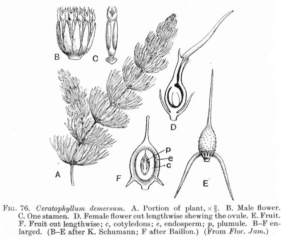 ceratophyllum